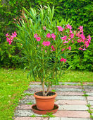 Red oleander — Stock Photo