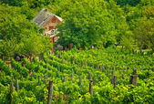 Vineyard with house — Stock Photo