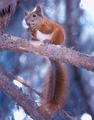 écureuil avec écrou — Photo