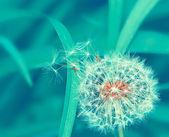 Dandelion — Zdjęcie stockowe