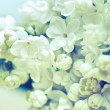 White flowers of lilac — Stock Photo
