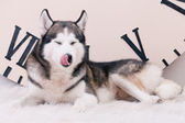 Dog licking oneself — Stock Photo