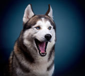 Dog siberian husky. — Stock Photo