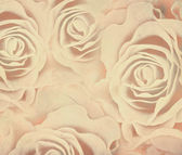 Beige roses background — Stock Photo