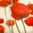 Poppy flowers over grunge background — Stock Photo #31481397