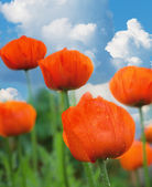 Poppy flowers on the field against the blue sky — Stock Photo