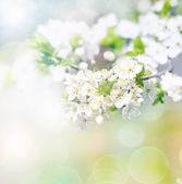 Apple flowers — Zdjęcie stockowe