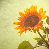 Sunflower over grunge background — Stock Photo