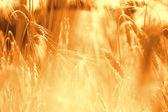 Rye field against sunlight — Stock Photo