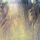 Wheat field against sunlight — Stock Photo