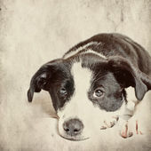Dog in front on grunge background — Stock Photo