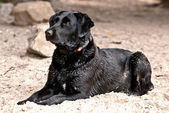 Black labrador dog on the beach — Stock Photo