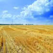 Sloping field of wheat — Stock Photo