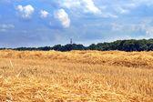 Cut wheat field — Stock Photo