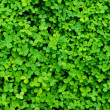 Stock Photo: Background plants Clover