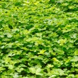 Plantation clover — Stock Photo