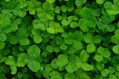 Green leaves Clover — Stock Photo