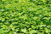 Trèfle de plantation — Photo