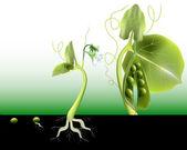 Peas growing — Stock Vector