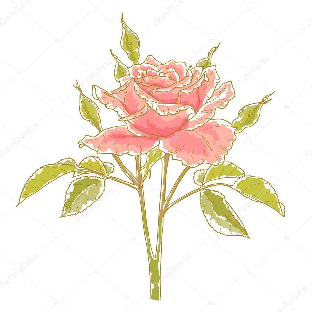 Pink rose with leaves, isolated on a white background. Design element. — Stock Vector #12551528