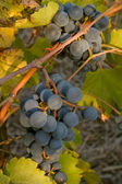 Grappe de raisins mûrs de noirs sur la vigne — Photo