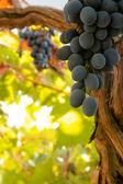 Haufen schwarze reife trauben am rebstock — Stockfoto