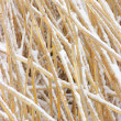 Snowcovered reed texture — Stock Photo #39719153