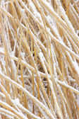 Snowcovered reed texture — Stock Photo