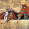 Horses near pyramids in Giza — Stock Photo
