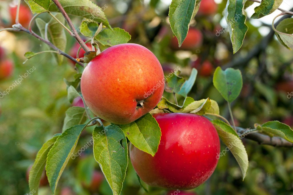 Red apples on the apple tree in garden — Stock Photo #16286683