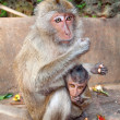 Macaque monkeys with baby — 图库照片