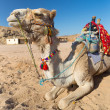 Royalty-Free Stock Photo: Camel on the egyptian desert