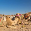 Royalty-Free Stock Photo: Camels on the egyptian desert