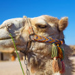 Camel in Bedouin village, Egypt — Stock Photo