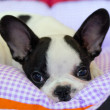 Cute french bulldog puppy — Stock Photo