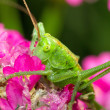Grasshopper on the pink flower — Stock Photo
