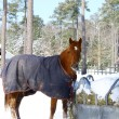 Winter horse - Stock Photo