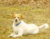 Hravý jack russel teriér baví mimo na teplý den v parku — Stock fotografie