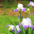 Purple bearded iris's - Stock Photo