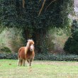 Dartmore Pony — Stockfoto