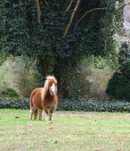 Dartmore Pony — Stock Photo