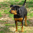 Doberman — Stockfoto #22390217