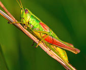 Grasshopper on a halm of grass in summer — Stock Photo
