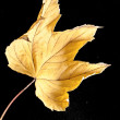 Fallen leaf autumn nature at black background — Stock Photo