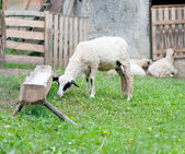 Sheep farm native at green grass meadow — Stock Photo