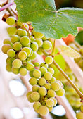Hanging grape with leaf juicy natural fruit food — Stock Photo