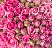 Beautiful pink rose flowers — Стоковое фото