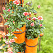 Potted roses — Stock Photo #22211211