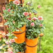 Stock Photo: Potted roses