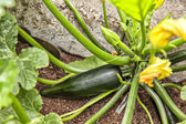 Courgette plant — Stock Photo